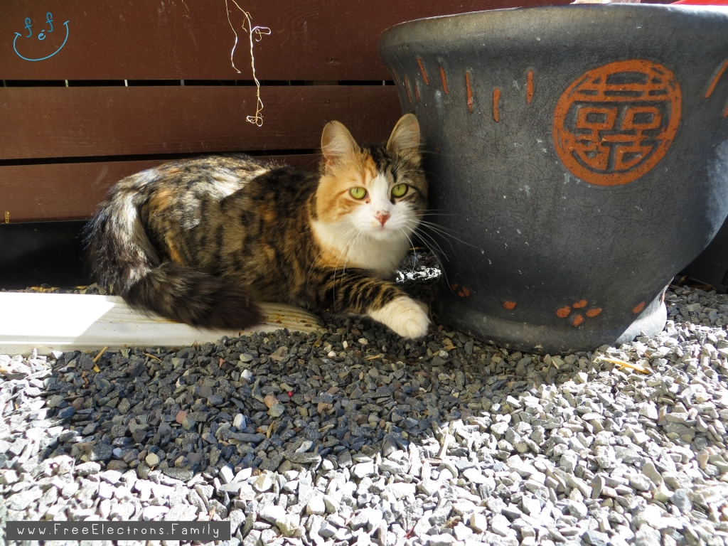 A hazel-eyed cat next to an empty plant pot on gravel yard, outdoor.  Text:  www.FreeElectrons.Family