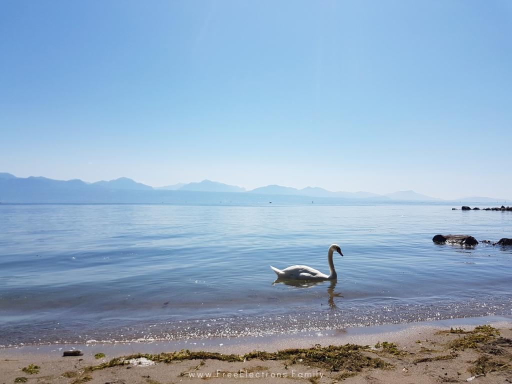 A white love swan on the shore of Lake Geneva in Lausanne, Switzerland, with the southern Swiss alps in the background.  www.FreeElectrons.Family